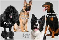 Sciencemode.com - Online list of most intelligent dog breeds